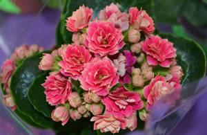 Каланхоэ цветущее