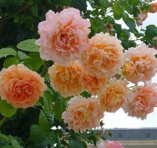 Розы непрерывного цветения сорта