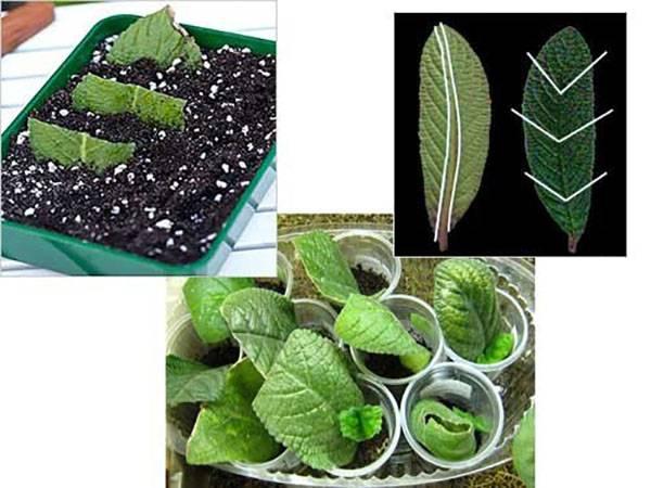 Стрептокарпусы уход и выращивание из семян