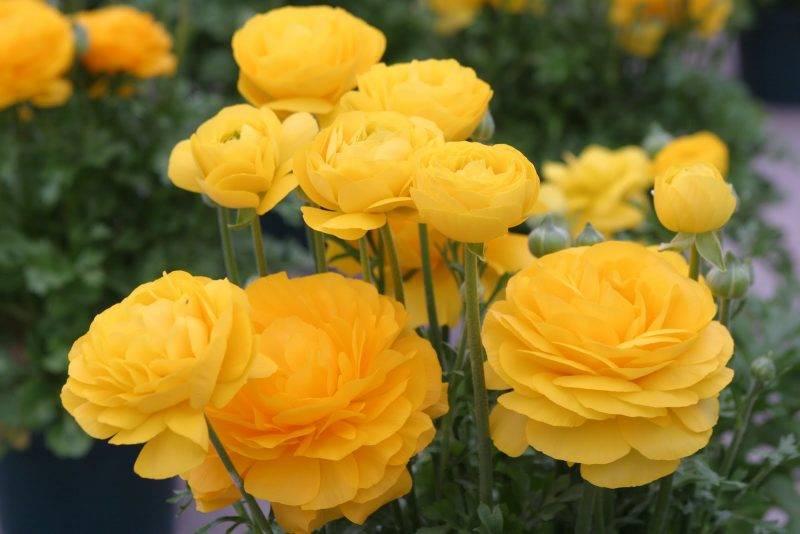 показать цветок лютик фото симпой единственная