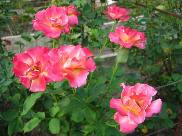 Когда пересаживать розу плетистую