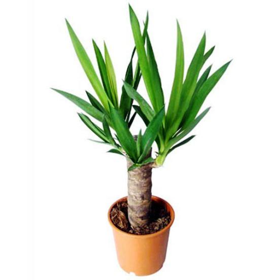 Домашняя пальма уход в домашних условиях