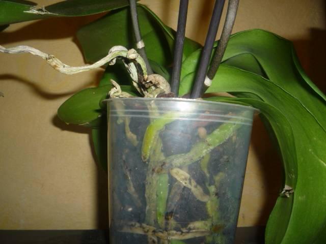 Как ухаживать за фаленопсисом в домашних условиях