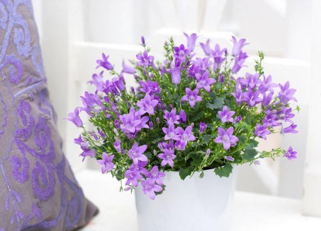 Комнатный цветок невеста уход