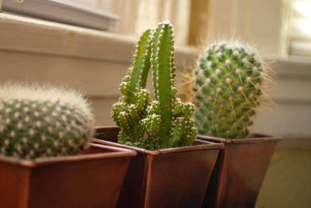 Можно ли дома держать кактус приметы
