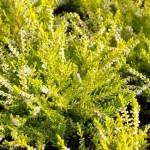Calluna-vulgaris_Вереск в дизайне сада