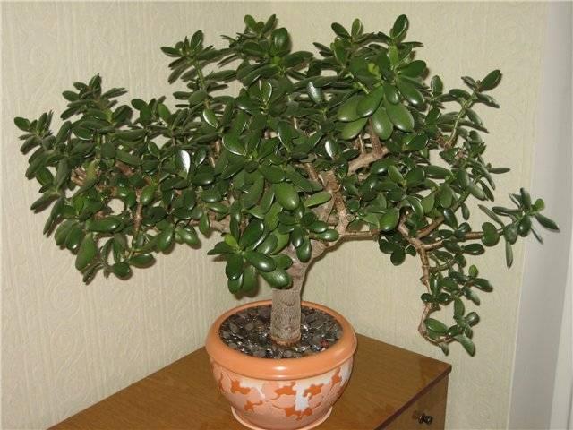 Толстянка денежное дерево болезни осыпаются листья