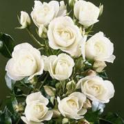 Роза флорибунда ред диадем