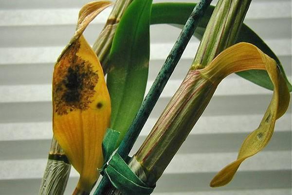 У орхидеи желтеет стебель сверху вниз