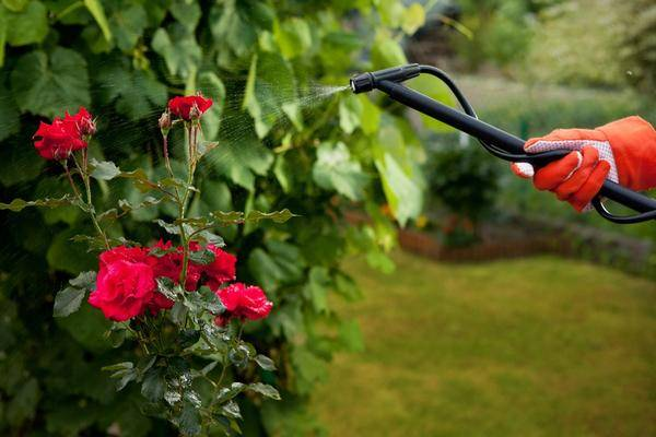 Розы уход и выращивание