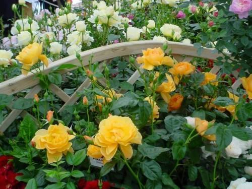 Что такое штамбовая роза