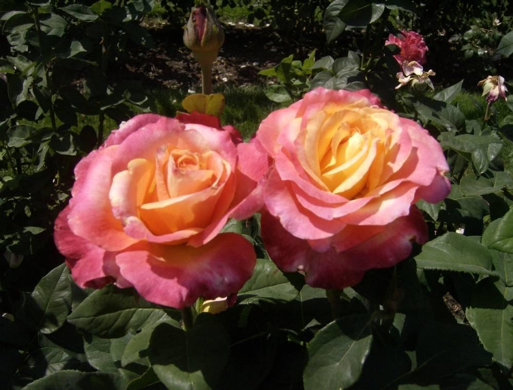 Как размножать розы черенками