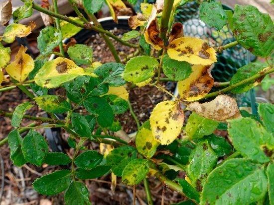 Домашняя роза желтеют листья и опадают