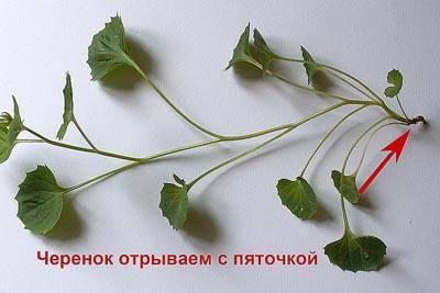 Цветок жених