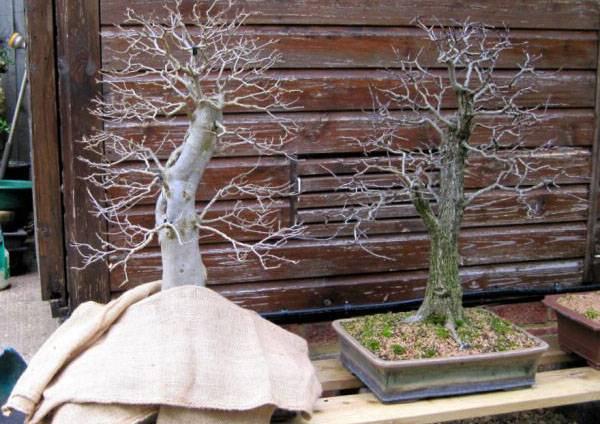 Как сажать семена бонсай