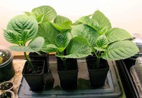 Гортензия выращивание семенами