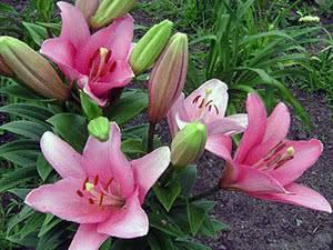 Лилия растение