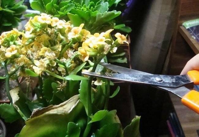 Каланхоэ обрезка после цветения