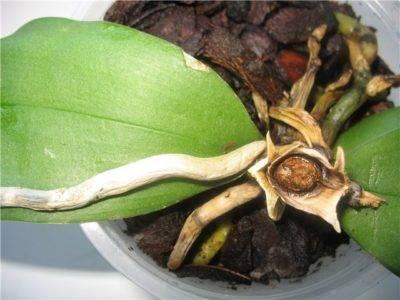 У орхидеи сгнила точка роста что делать