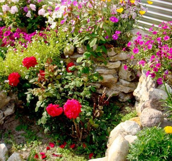 Как посадить ромашки