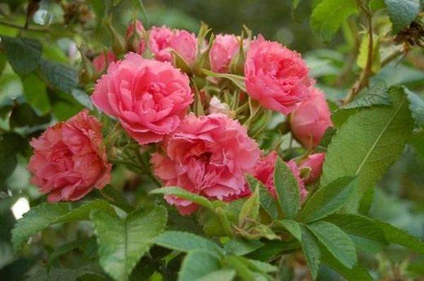 Роза пинк гротендорст