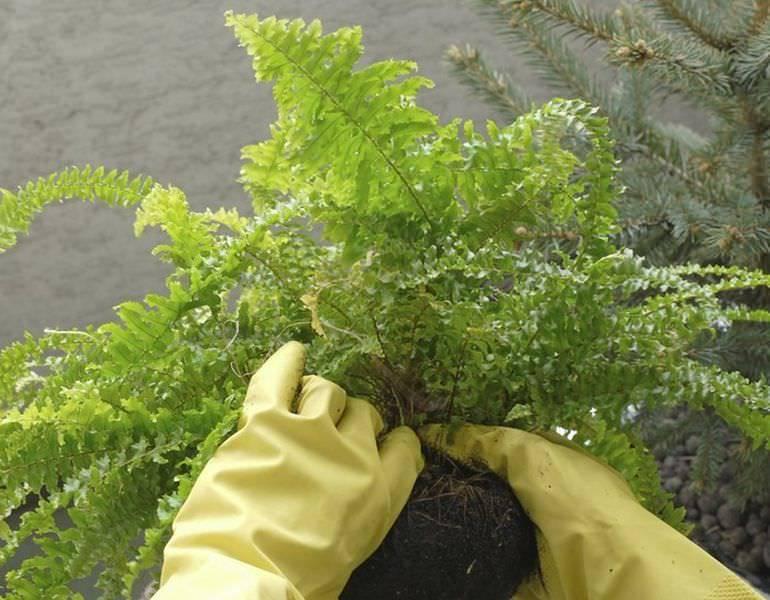 Можно ли посадить лесной папоротник в саду
