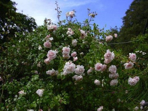Плетущая роза