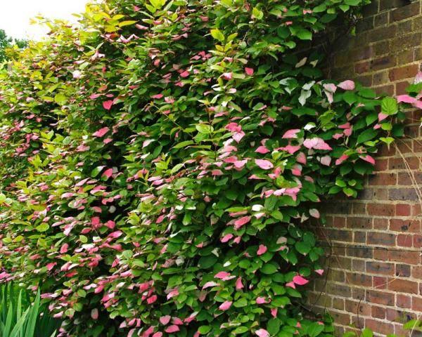 Тенелюбивые растения для сада многолетние