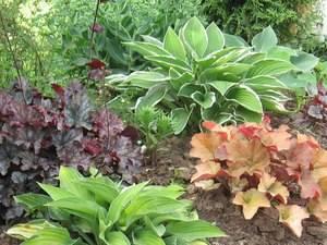 Растение хоста посадка и уход