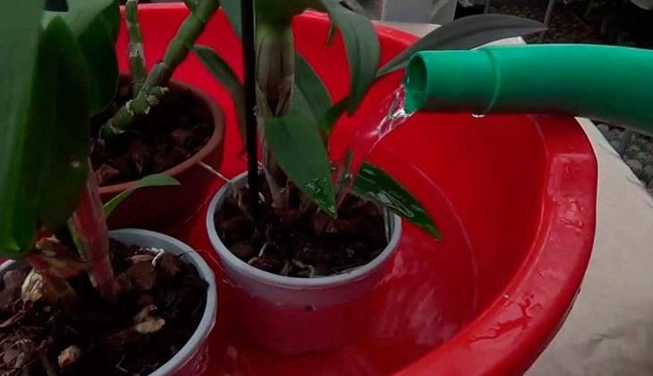 На орхидее липкие капельки что делать