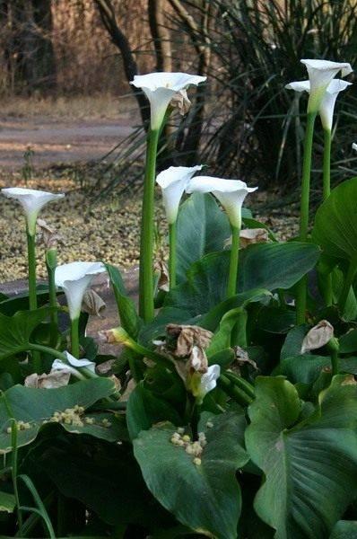 Цветок кал
