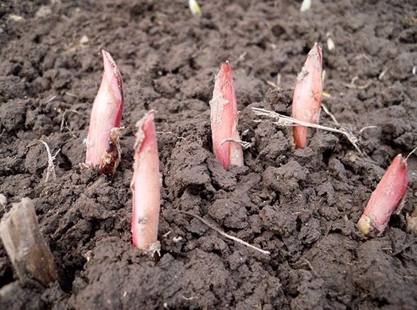 Выращивание пионов из семян в домашних условиях
