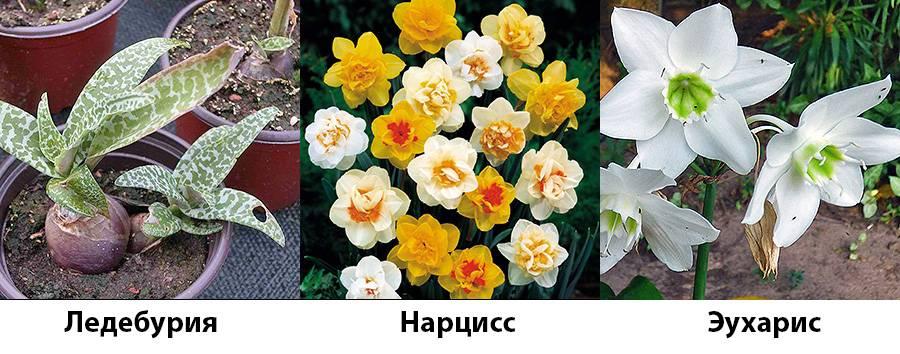 Комнатный цветок с белыми цветами