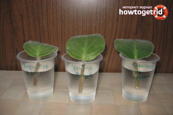 Как разводить фиалки в домашних условиях