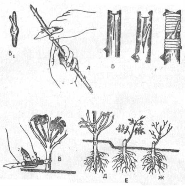 Виды садовых роз