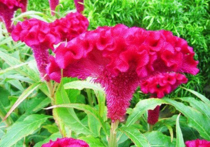 Гребешок растение