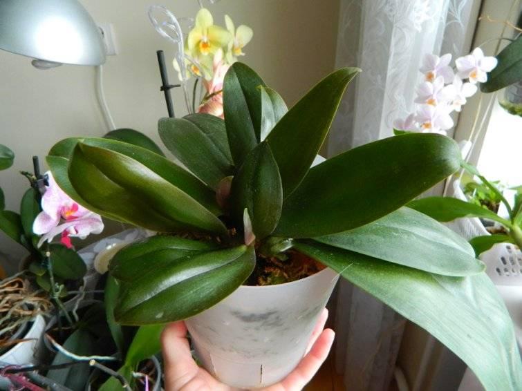 Спасти орхидею