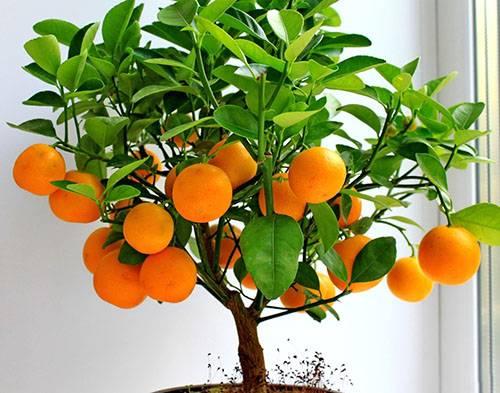 Апельсин из косточки в домашних условиях