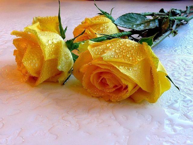 Желтые розы символизируют