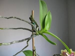 Сколько раз в год цветет орхидея