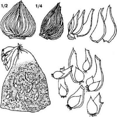 Как выглядят семена гиацинта
