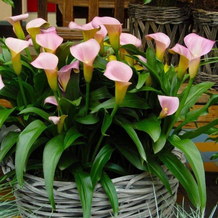 Как по другому называется цветок женское счастье