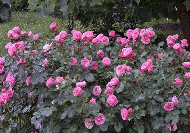 Кустовая роза уход