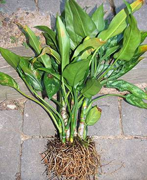 Почему у аглаонемы скручиваются листья