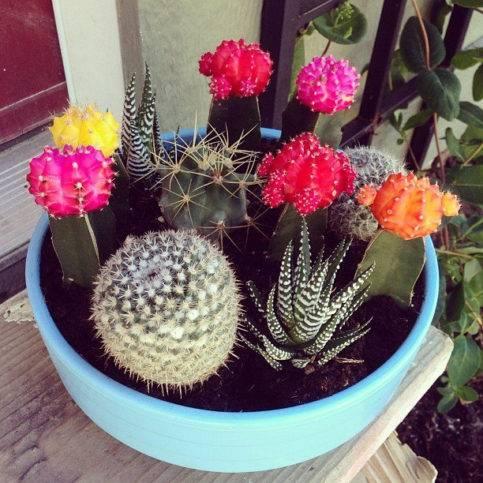 Виды кактусов домашних