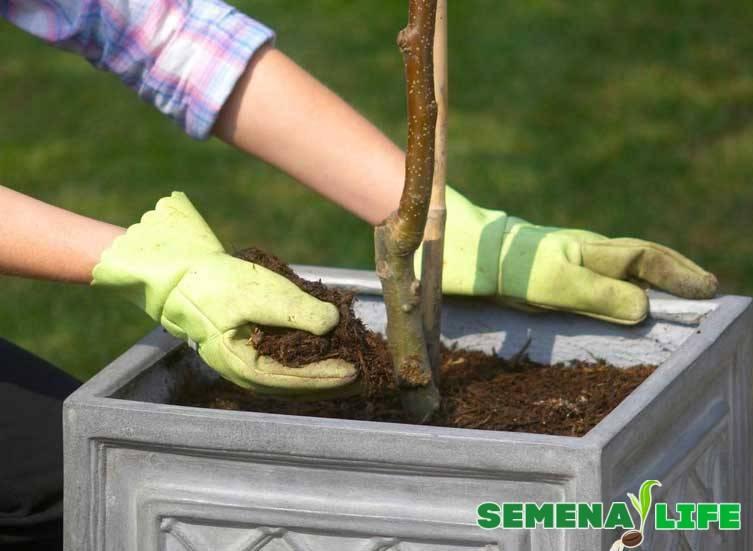 Как посадить сакуру из семян