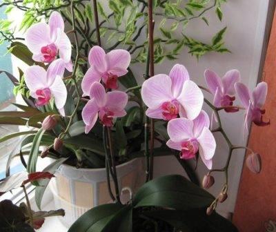 Когда зацветет орхидея после пересадки
