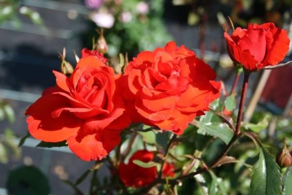 Розы шрабы сорта