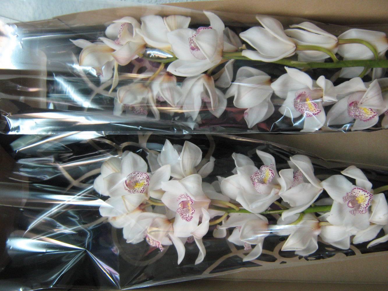 Phalaenopsis орхидея