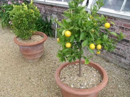 Как правильно обрезать лимон